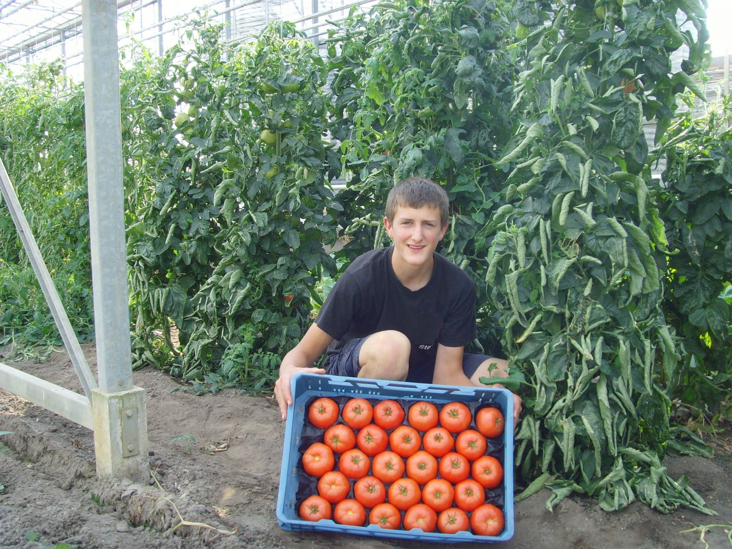 Stef met bak tomaten - Tuinbouwbedrijf Dillen